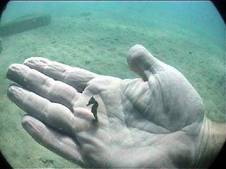 Pygmy Seahorse, By: Rick Jungle