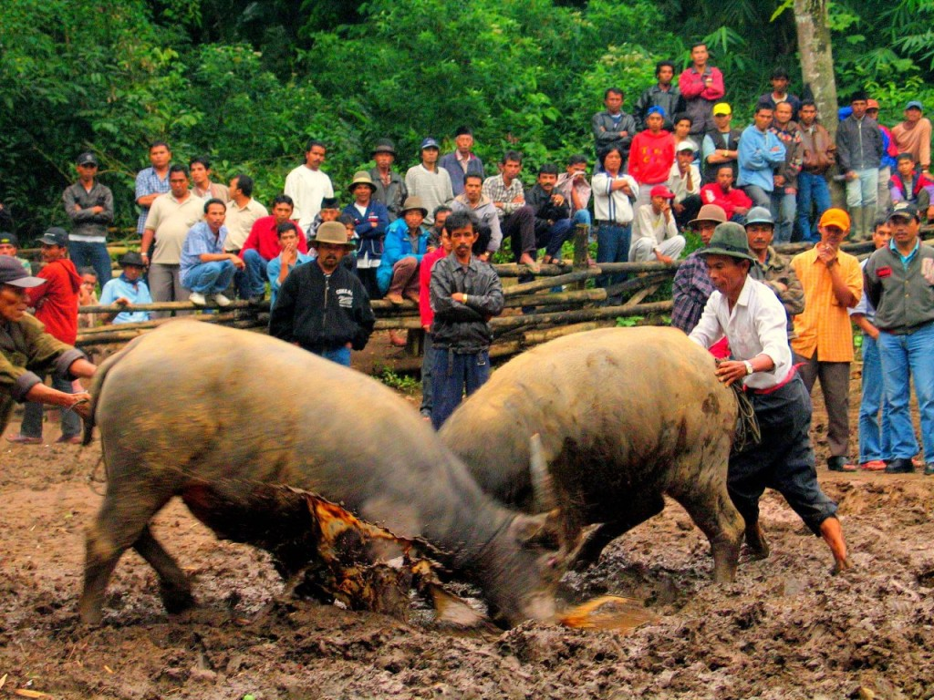 A bullfight in Sumatra, By: viajar24h.com