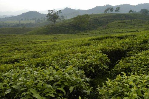 Tea plantation in Lembang, West Java, By: Noorman Wijaksana