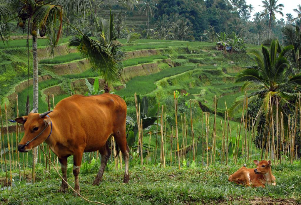 Tabanan Bali rice paddies