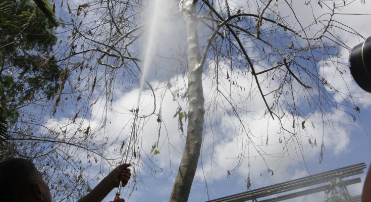 Hosing caterpillars down a tree in Indonesia