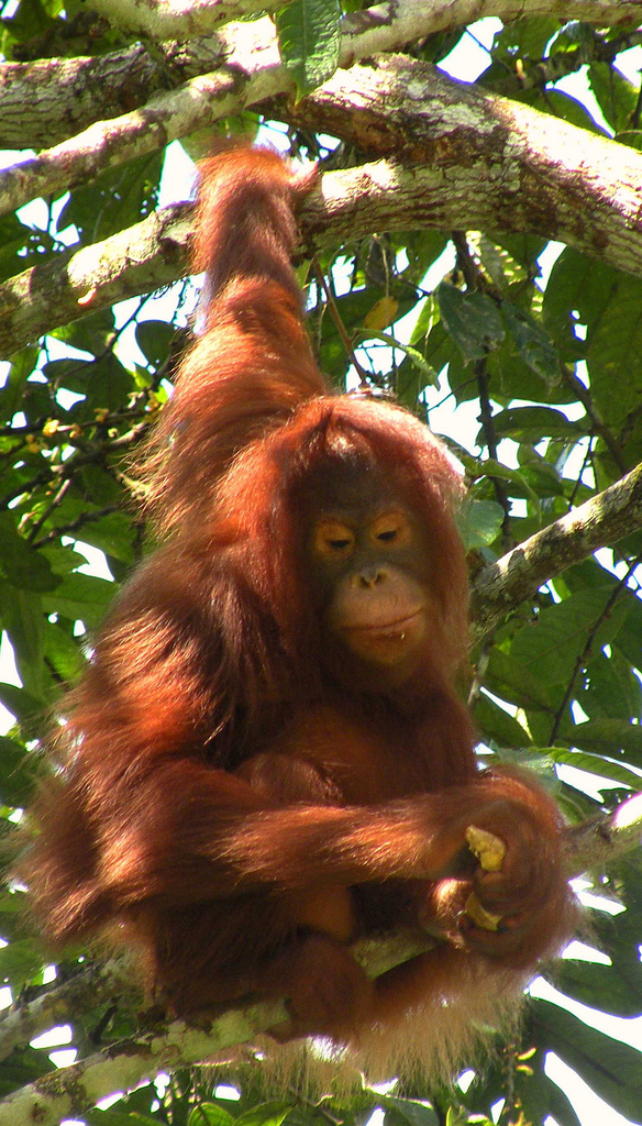 Face to face with an orang utan, By: Barbicanman