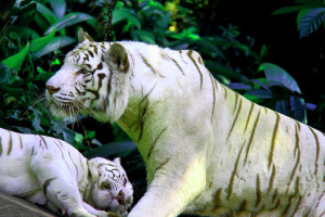 A pair of white tigers at the Singapore Zoo. Double recessive genes produces the pale colour morph, By: Derrick Caluag