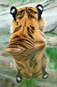 Tiger Singapore