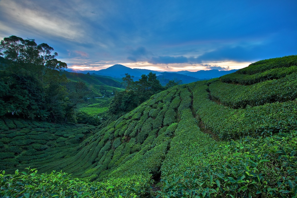 Sg Palas tea plantation at Cameron Highlands, By: Christopher Harriot