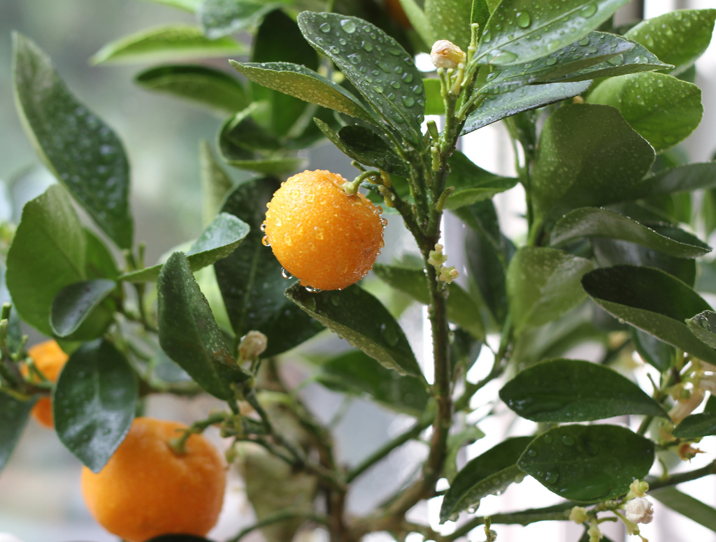 Calamondin tree. You can also get the juice canned, By: Marlon Bunday