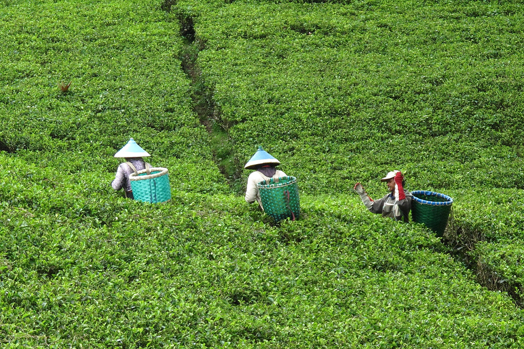 Workers in a tea plantation near Bandung, By: Chen Wu