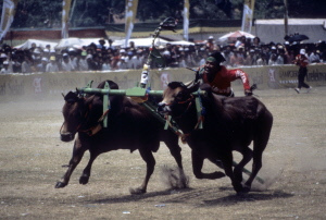 Bull races on Madura, By: FatPassportInc.