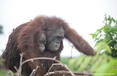 Orangutans by Bos Foundation & Vier Pfoten