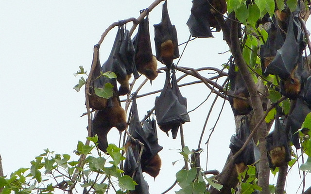 Fruit bats hanging from a tree in Battambang, By: Ronan Crowley