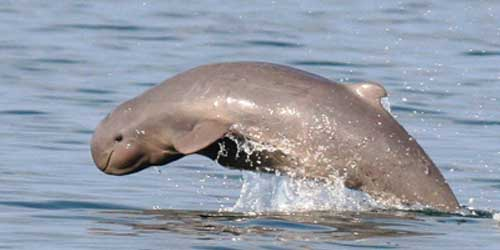 The rare freshwater Irrawaddy dolphin surfaces in the Mekong, Courtesy of WWF