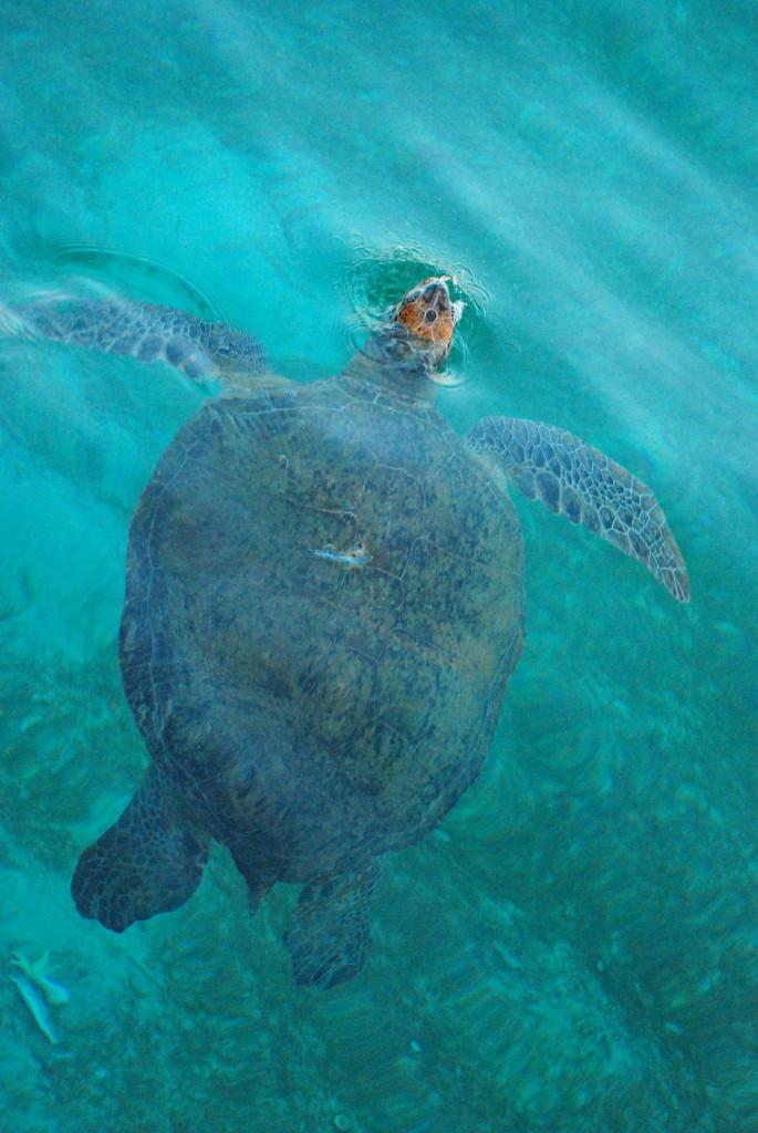Green turtle surfacing at Derawan Island, By: Ario Triwibowo