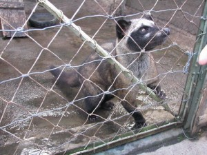 A caged civet cat, for the sake of a cup of coffee