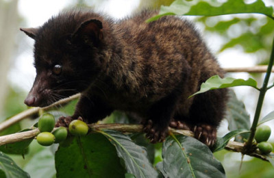The producer of kopi luwak: the civet cat