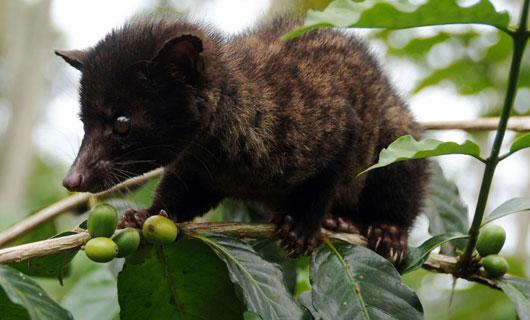 The producer of kopi luwak: the civet cat