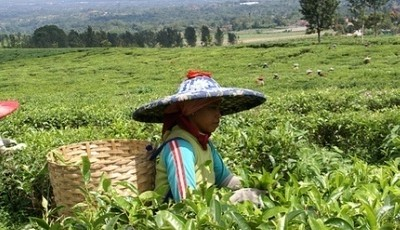 Picking tea Java